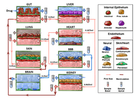 Schematic of an experiment and all the organ chips, fluidic connections, and cell types involved.