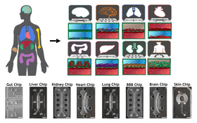 Diagram of the various organ tissues that are grown in the microfluidic chips.
